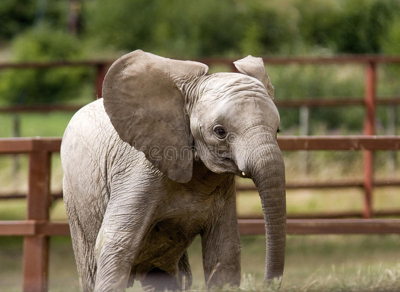 Elefantkalb lizenzfreies stockbild