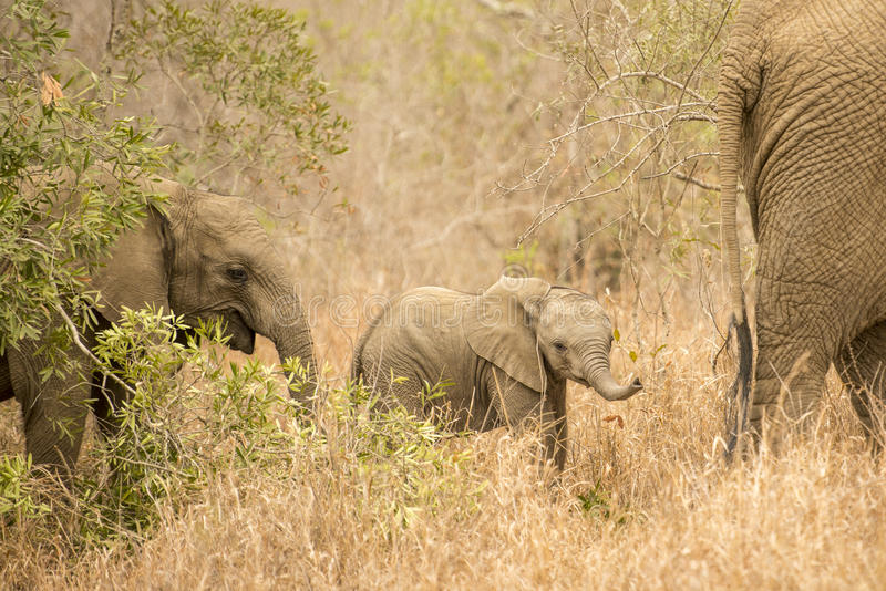 Elefantkalv i familj royaltyfri fotografi