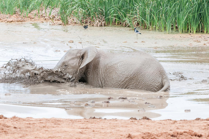 Elefantkalv som spelar i en lerig waterhole arkivfoton