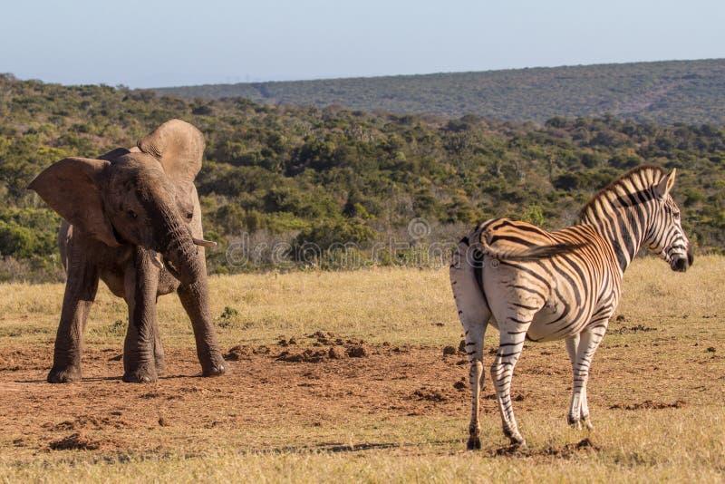Elefantkalven möter sebran royaltyfria foton