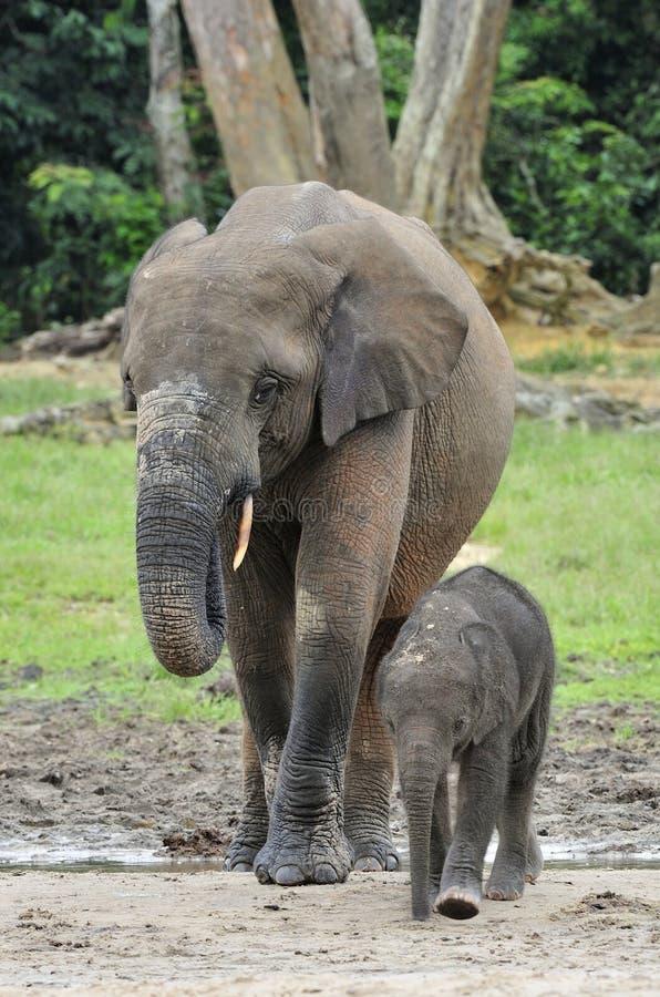 Elefantkalven matas med mjölkar av en elefantko den afrikanska Forest Elephant, Loxodontaafricanacyclotis På den Dzanga salien fotografering för bildbyråer