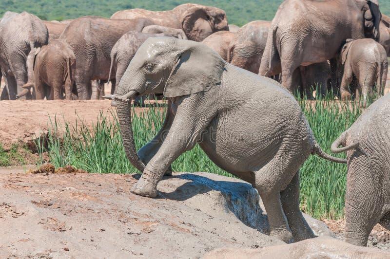 Elefantklättring ut ur en lerig fördämning royaltyfria foton