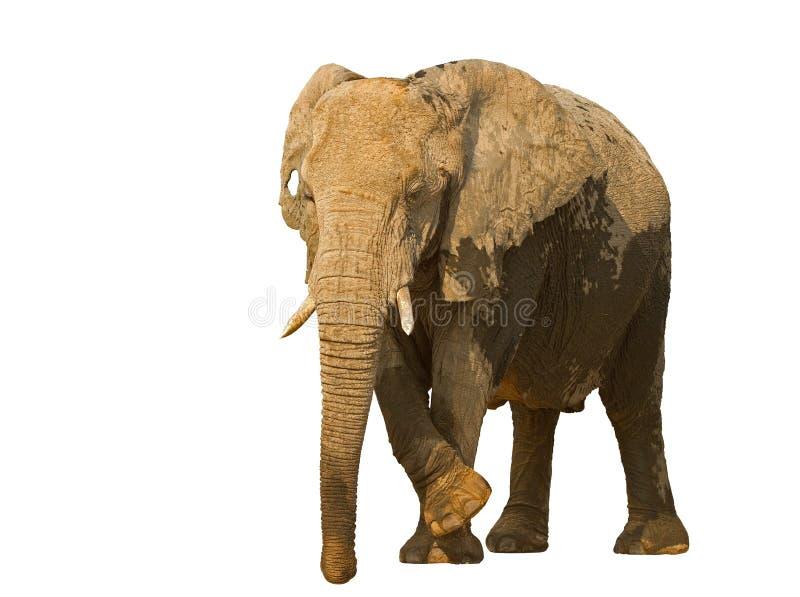 Elefantko mot en vit bakgrund fotografering för bildbyråer