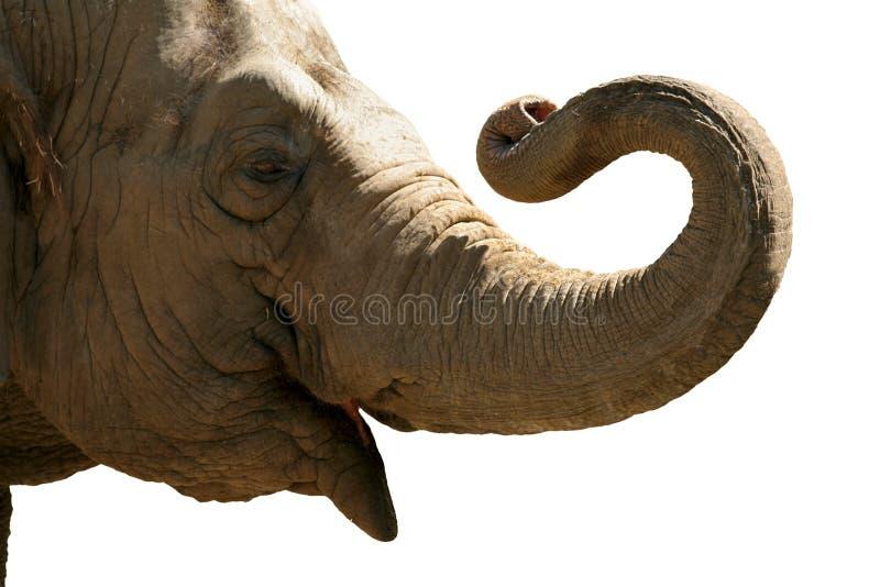 Elefantkopf lizenzfreie stockbilder