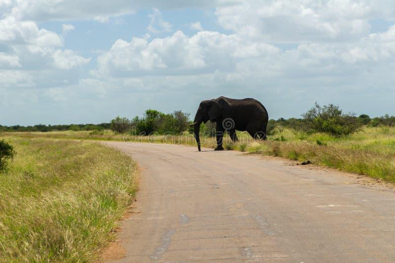 Elefantkorsning väg i den Kruger nationalparken fotografering för bildbyråer
