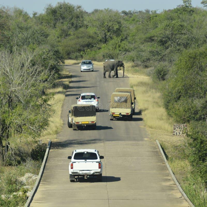 Elefantkorsningen och blockeravägen i safari parkerar royaltyfri fotografi