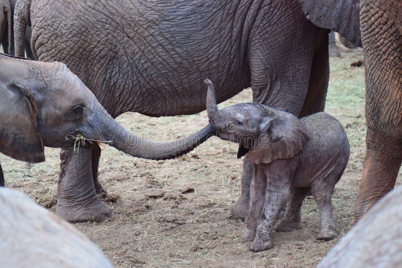 Elefantkyss fotografering för bildbyråer