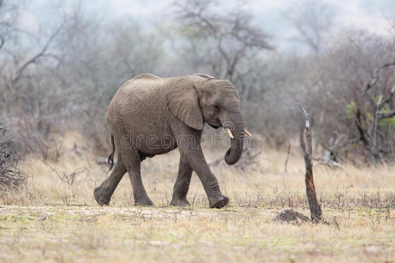 Elefantman som går i den Kruger medborgareParkCheetah mannen i Masai Mara arkivfoto
