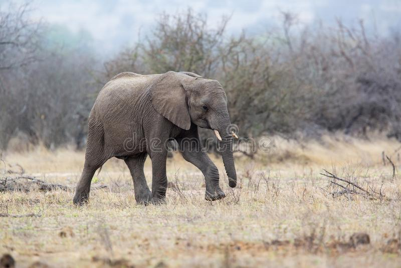 Elefantman som går i den Kruger medborgareParkCheetah mannen i Masai Mara royaltyfria bilder