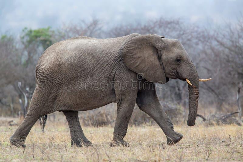 Elefantman som går i den Kruger medborgareParkCheetah mannen i Masai Mara royaltyfri bild