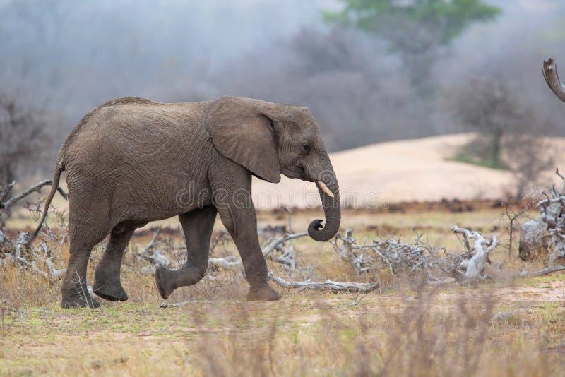 Elefantman som går i den Kruger medborgareParkCheetah mannen i Masai Mara arkivbild
