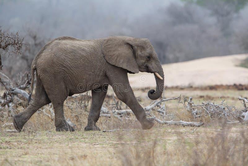 Elefantman som går i den Kruger medborgareParkCheetah mannen i Masai Mara royaltyfria foton