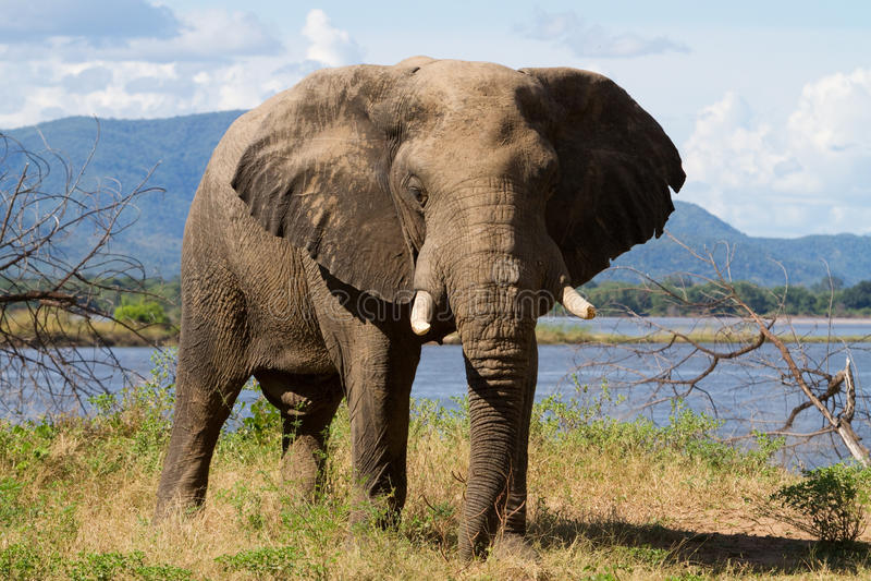 elefantmanapölar arkivbilder