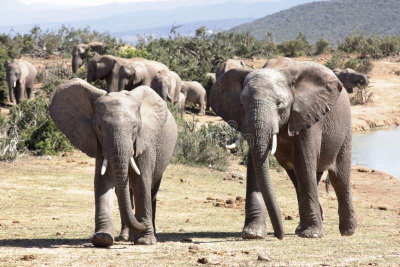 elefantmanlig två arkivbild