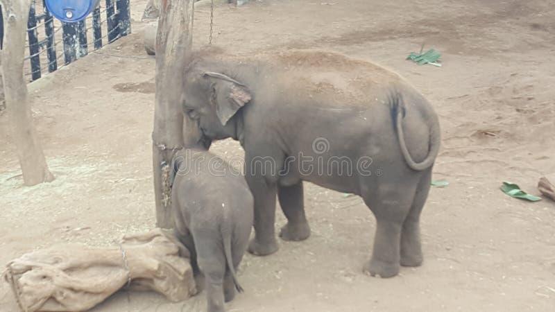 Elefantmodern och att behandla som ett barn i elefantbilagan på Toronga parkerar zoo, Mosman, NSW, Australien arkivfoto