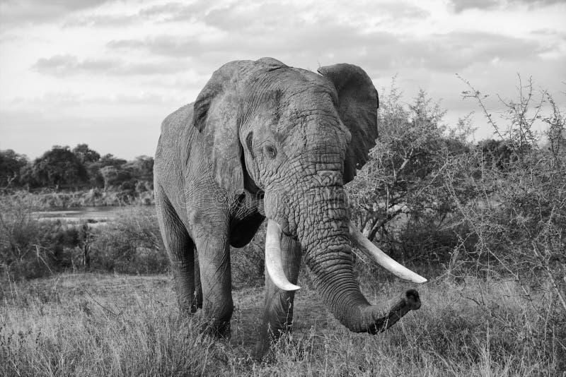 Elefantnärbild arkivfoto