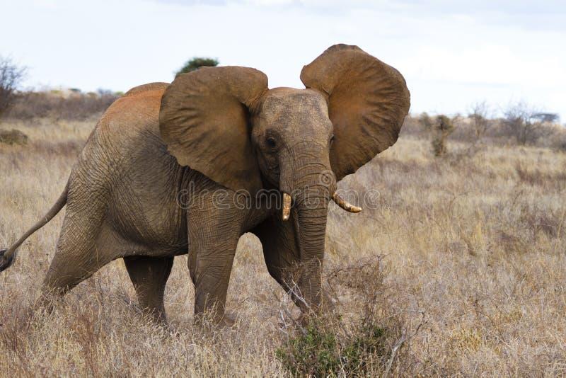 elefantredtsavo royaltyfri fotografi