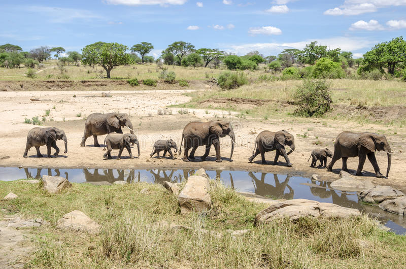elefants家庭  免版税库存照片