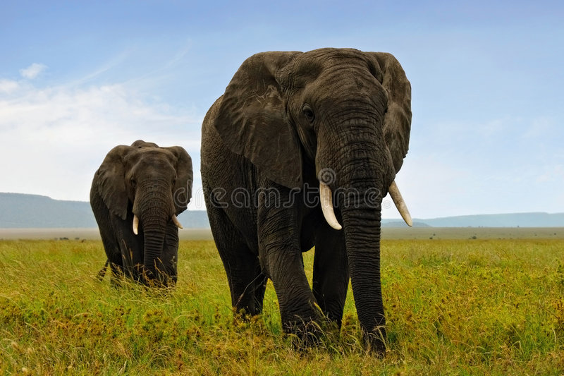 Elefants africani fotografia stock