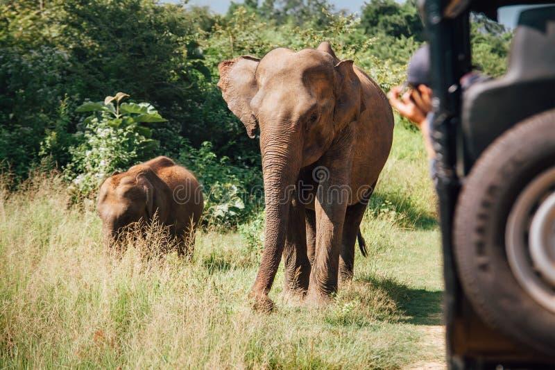 Elefants en safari en el parque de naturaleza nacional Udawalawe en Sri alto y delgado imagenes de archivo