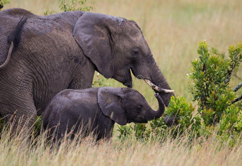 Elefants Family on african savannah stock photos
