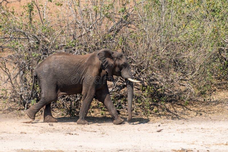 Elefants nos pantanais no rio do chobe em Botswana em África fotos de stock royalty free