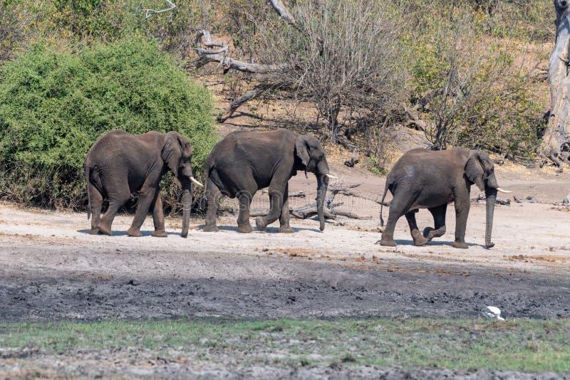 Elefants nos pantanais no rio do chobe em Botswana em África imagem de stock