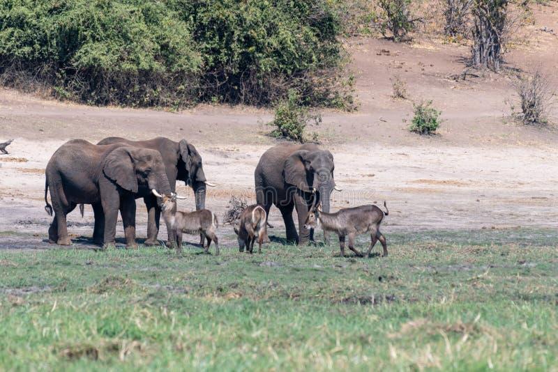 Elefants nos pantanais no rio do chobe em Botswana em África foto de stock royalty free