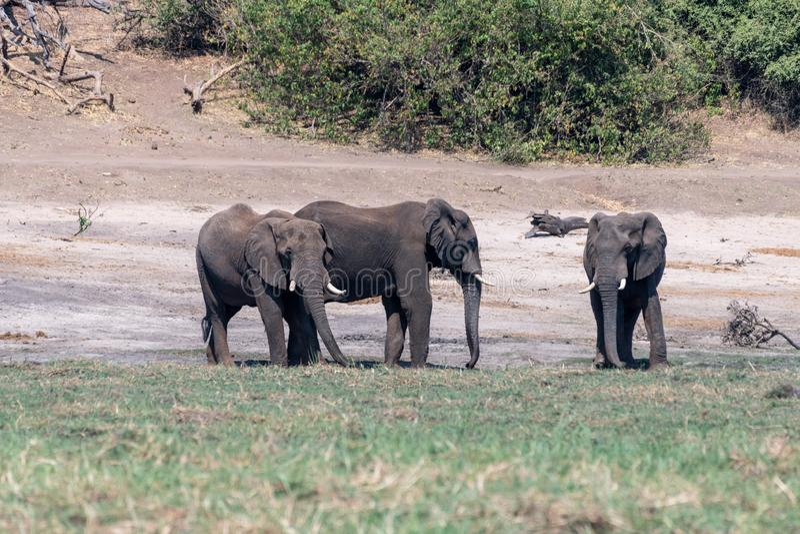 Elefants nos pantanais no rio do chobe em Botswana em África imagem de stock royalty free