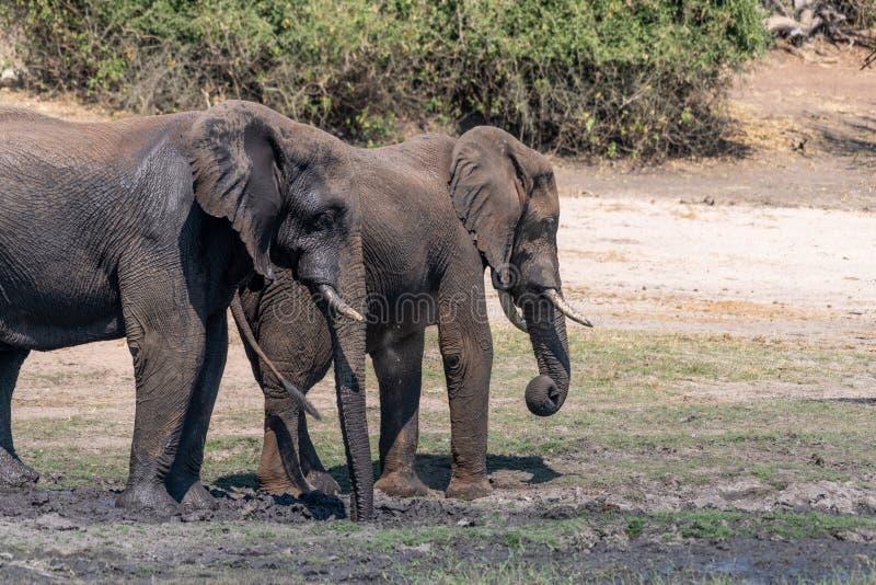 Elefants nos pantanais no rio do chobe em Botswana em África imagens de stock