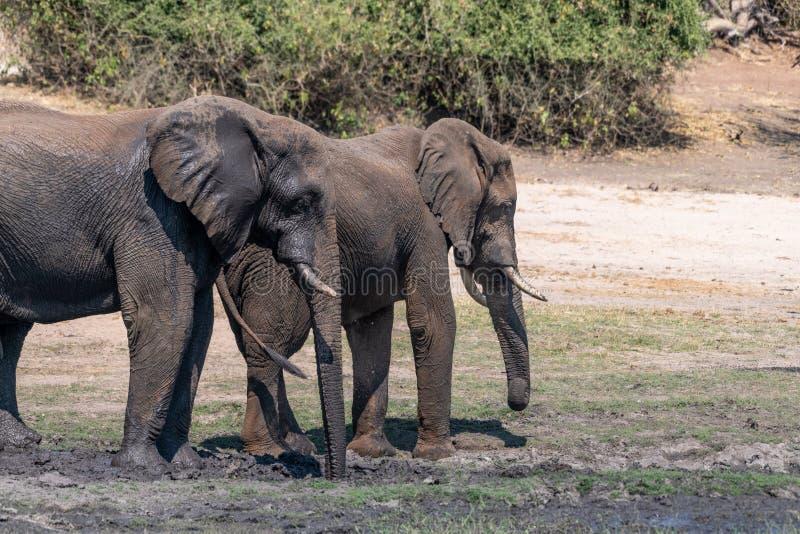 Elefants nos pantanais no rio do chobe em Botswana em África fotografia de stock royalty free