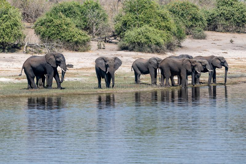 Elefants nos pantanais no rio do chobe em Botswana em África imagens de stock royalty free