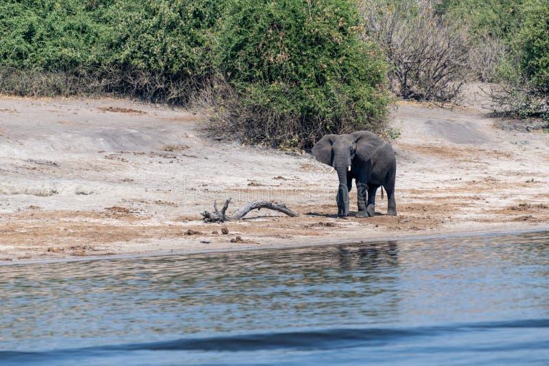Elefants nos pantanais no rio do chobe em Botswana em África fotografia de stock