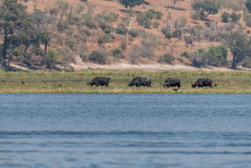 Elefants nos pantanais no rio do chobe em Botswana em África foto de stock