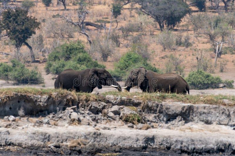Elefants nos pantanais no rio do chobe em Botswana em África fotos de stock