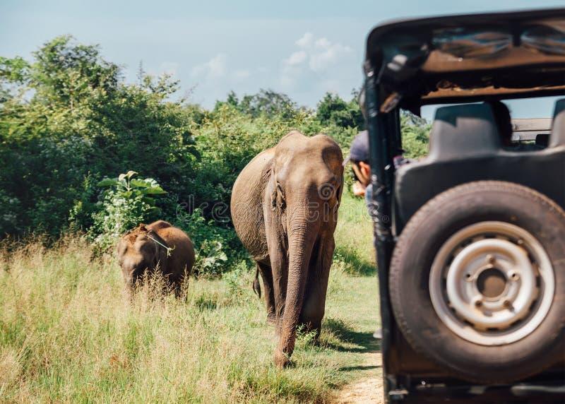 Elefants på safari i nationell natur parkerar Udawalawe i stripiga Sri fotografering för bildbyråer