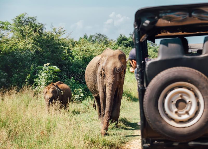 Elefants on safari in National Nature Park Udawalawe in Sri Lank. A stock image