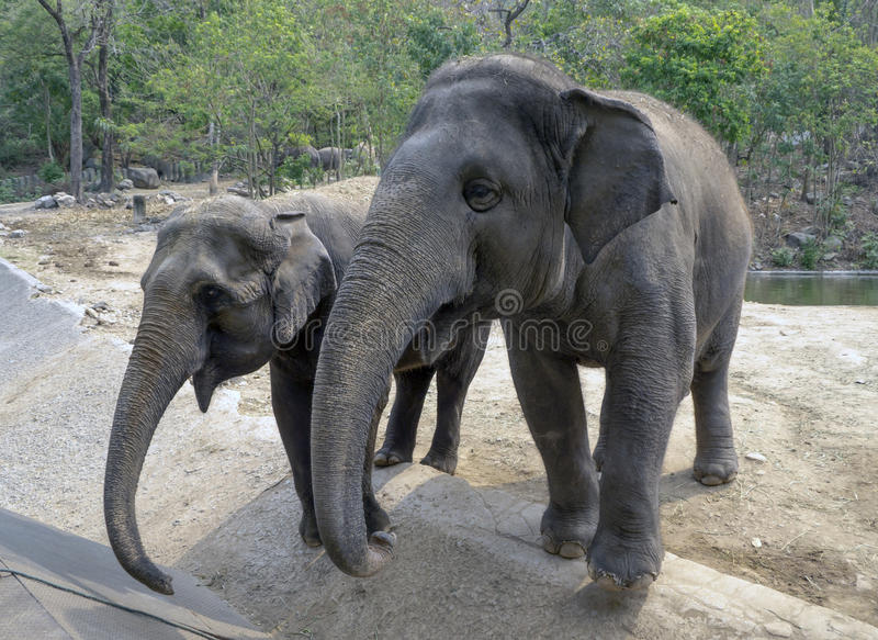 Elefants in the zoo royalty free stock photos