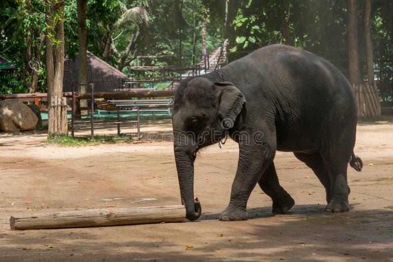 Elefantshow in der thailändischen Elefant-Erhaltungs-Mitte lizenzfreie stockfotografie