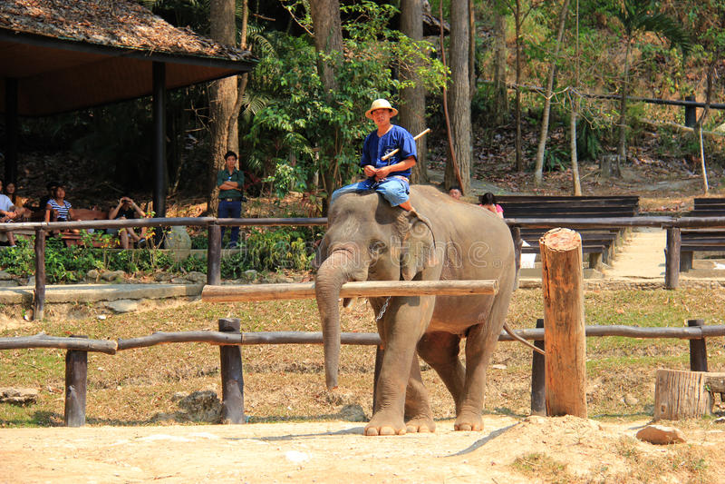 Elefantshow på det Maesa elefantlägret, Chiangmai, Thailand på April royaltyfria bilder