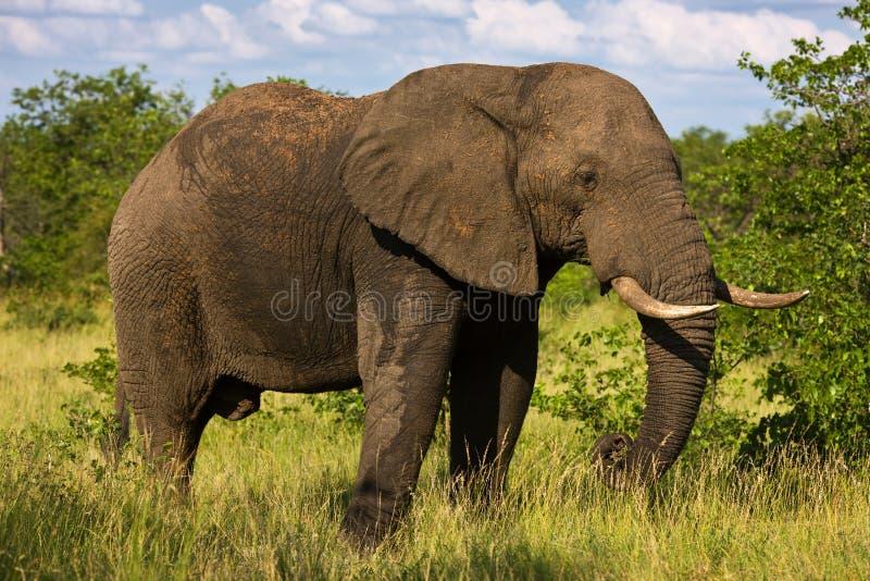 Elefantstier lizenzfreies stockfoto