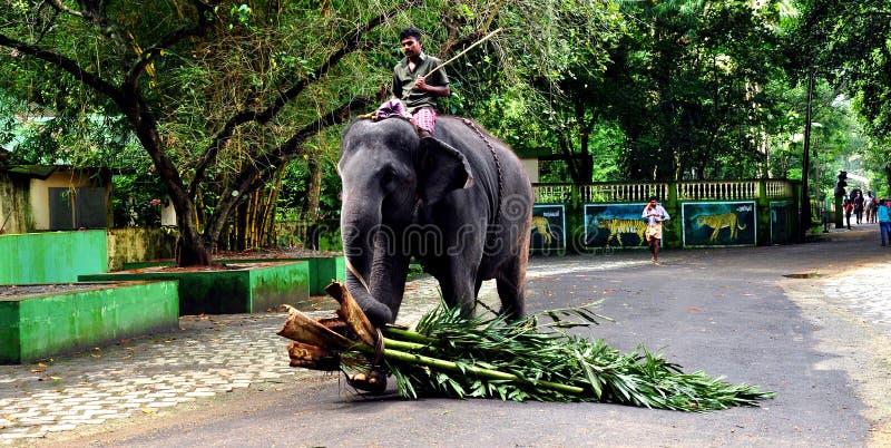 Elefanttrainangmitt i kadanaduen, kerala fotografering för bildbyråer