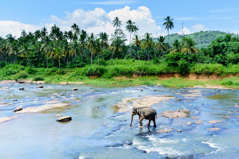 Elefphant in un fiume, Sri Lanka, Kandy fotografia stock libera da diritti