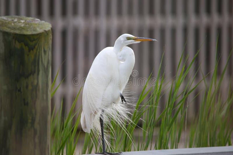 A elegância do grande Egret branco fotos de stock
