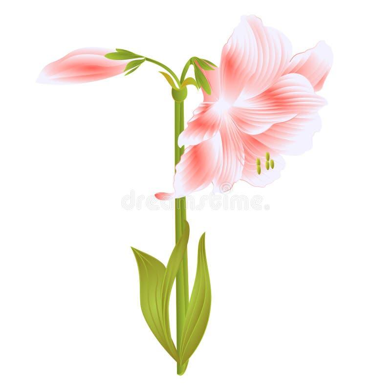 Eleganccy kwitnący Amaryllis menchii kwiaty i pączek na białym tle wyszczególniali naturalnego rysunek wspaniały kultywujący kwia ilustracja wektor