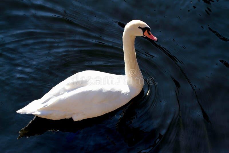 Download Elegance Swan In The Lake Royalty Free Stock Photos - Image: 27533378