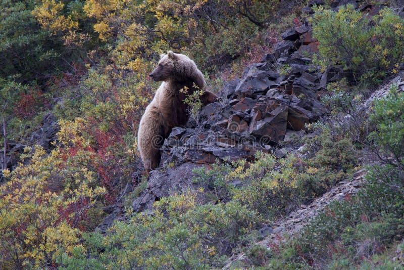 Elegancka grizzly locha w Denali zdjęcie stock