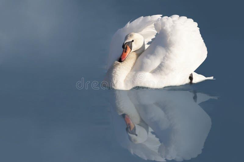 elegancki łabędzi biel obrazy royalty free