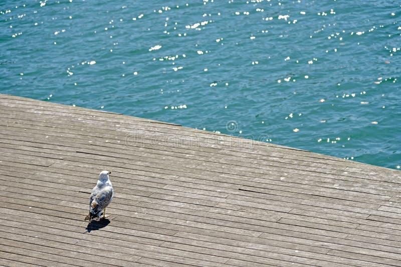 Elegancki biały frajer ogląda morze od doku Barcelona ` s schronienie obraz royalty free