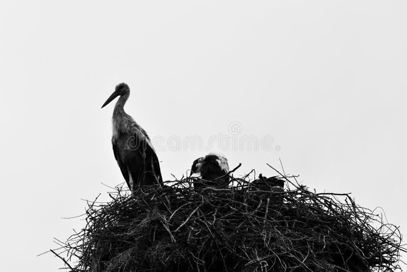 Elegancki bocian z swój gniazdeczkiem zdjęcia royalty free